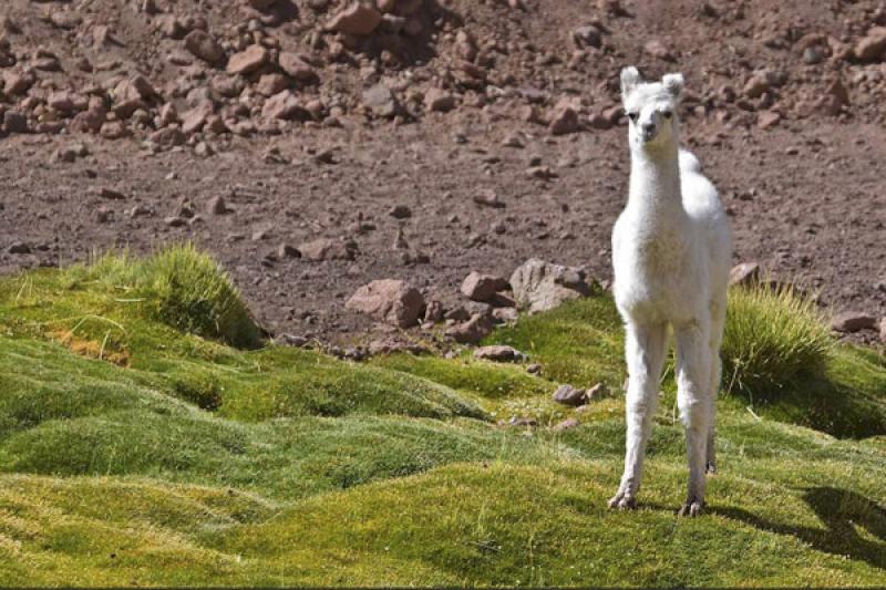 Lama guanicoe, San Pedro de Atacama, Antofagasta, ...